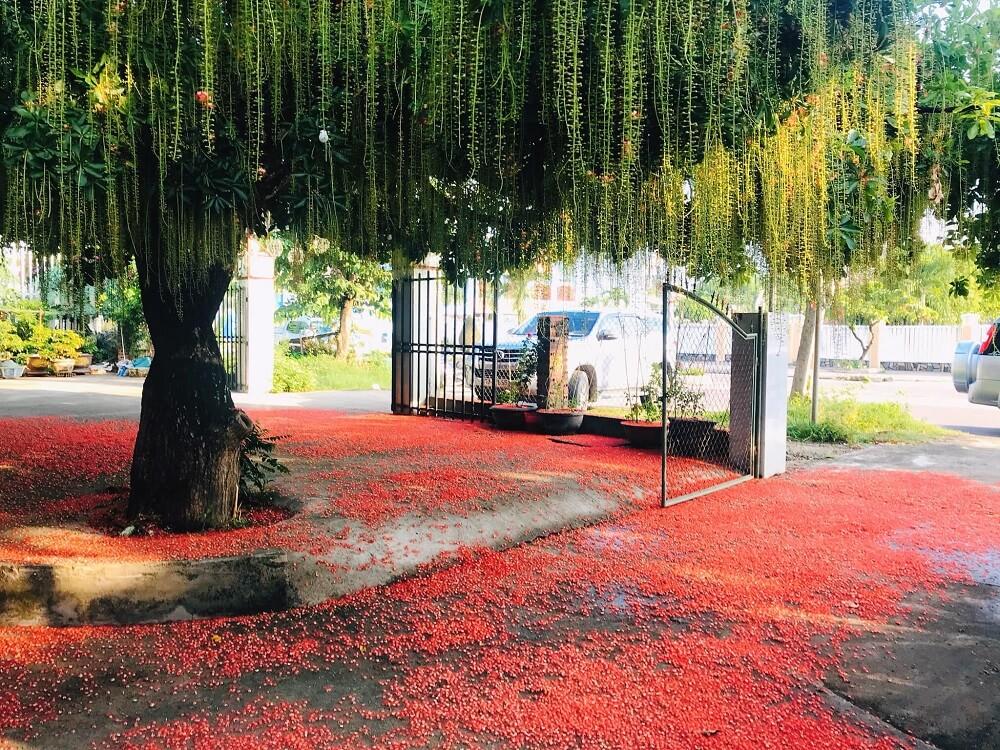 Cách trồng cây lộc vừng tại nhà trong chậu hợp phong thủy